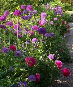 Beautiful Peony Garden: Paeonia officinalis 'Rosea Plena' with alliums (replace by local varieties) and Aquilegia at Hidcote Manor