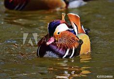 Aix Galericulata, Mandarin Duck, Photos For Sale, Bird, Pictures, Animals, Photos, Animales, Animaux