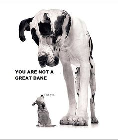 Sneak Peak! Deze hoort bij onze 1e #blog. Live op 1 augustus!  You are not a greate Dane! funny, dog, quote, quote... Larger than live