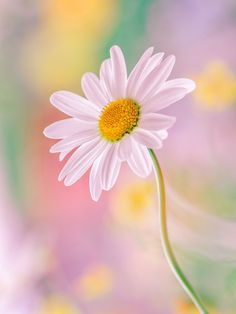 daisy flower Pictures of my Soul White Flowers, Beautiful Flowers, Single Flowers, Daisy Love, Daisy Daisy, Gras, Flower Wallpaper, Morning Images, Flower Pictures