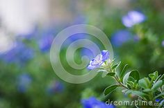 Dwarf morning glory with blue blurry background