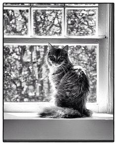 Excellent black and white good mix of light and dark organic and geometric lines and shapes and a gorgeous cat In my opinion Pretty Cats, Beautiful Cats, Animals Beautiful, Cute Animals, Pretty Kitty, I Love Cats, Crazy Cats, Cool Cats, Cat Window