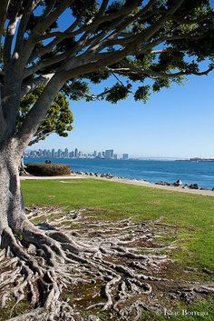 Harbor Island, San Diego, California Our children and grandchildren climbed these trees. A summer tradition for almost fifty years! Beautiful Places To Visit, Beautiful World, Nevada, Utah, Oregon, Arizona, Visit San Diego, Harbor Island, San Diego Travel