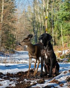 Kate Great Dane And Pippin The Deer