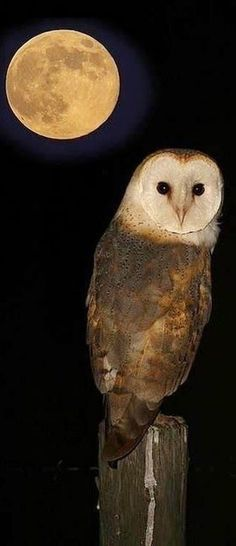 Midnight Owl - i'm g Amazing World beautiful amazing