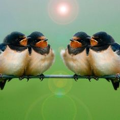 Which one of you's got the map? Young swallows line up in readiness for their epic journey back to warmer climes for winter . . .
