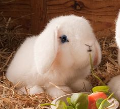 """Max"" Dwarf Lop Eared Bunny, White"