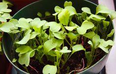 ARCTICdeco.com: radish sprouts