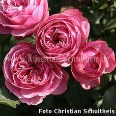 Leonardo da Vinci - Kraeftigrosa - Zwergstammrosen - Historische_Staemme - Staemme - Rosen von Schultheis