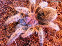 Tarantula | free rose hair tarantula spider wallpaper photos