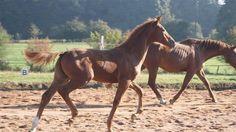 Paarden te koop: Lady Mansolein