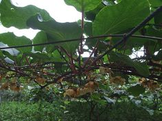 Growing Kiwi Vines in Your Landscape: Kiwi vines can grow quickly to 30' long.