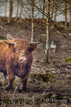 #Cow with a #tung  by Fotograf Maria Berg- 365 bilder under 2015