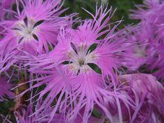 SEMILLAS AROMÁTICAS/ MEDICINAL | EQUINACEA echinacea purpurea 200 semillas | semillas de huerto , carnivoras , flores , arboles , aromaticas y medicinales
