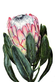 Watercolor Protea flower painting print South African indigenous fynbos