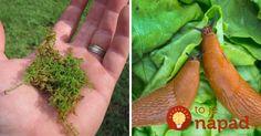 Ako sa zbaviť v záhrade slimákov Carrots, Herbs, Vegetables, Gardening, Twitter, Compost, Lawn And Garden, Carrot, Herb