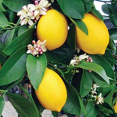 Nature Hills Nursery sells a wide variety of fruit trees. Our fruit tree expert, Ed Laivo, shares tips for growing citrus trees indoors over the winter. Caring for a Dwarf Meyer Lemon is featured. Fruit And Veg, Fruits And Vegetables, Vegetables List, Citrus Fruits, Eureka Lemon, Meyer Lemon Tree, Dwarf Trees, Citrus Trees, Orange Trees