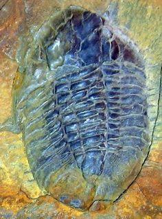 Barrandia parabolica trilobite -- Hope Shales, Shropshire, England