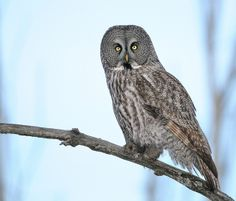 Chouette Lapone Great Grey Owl | Flickr - Photo Sharing!