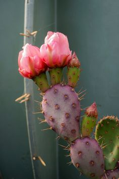 A desert beauty. This cactus blooms for a short time, with a stunning pink blossom. Indoor Gardening, Indoor Plants, Pink Blossom, Garden Spaces, Live Plants, Cacti And Succulents, Trees To Plant, Houseplants, Beautiful Gardens