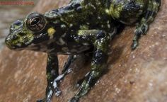 Why frogs thrived after the dinosaurs were wiped out