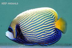 "EMPEROR ANGEL 4""(Pomacanthus imperator) live saltwater fish angelfish"