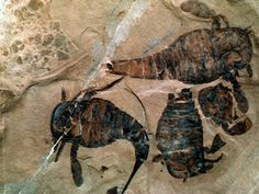 Eurypterus remipes, Sea Scorpions from the Silurian Period 443-416 Million Years Ago