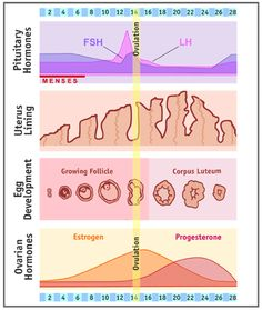 How long is a menstrual cycle on clomid