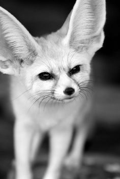 Fennec Fox (Vulpes zerda), native of the Sahara, North Africa. °