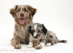 Dogs: Red Merle Mini American Shepherd and pup photo WP38470