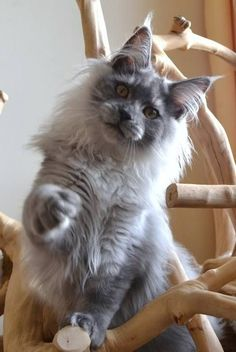 Justcoon's Nifty S Back. German Import. Blue Smoke. Nifty is a beautiful looking cat, he has his mother's beauty, it looks as if he will follow his father in size (14kg). Nifty S Back  25/11/13 http://www.mainecoonguide.com/adopting/