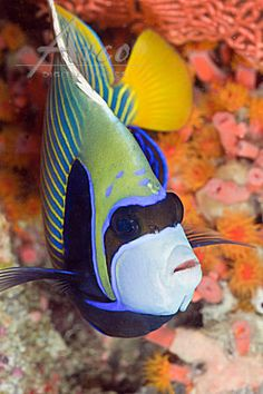 Image: Imperial Angelfish