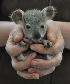 This guy, Mr ADORABLY CUTE. | The 29 Cutest Koalas That Ever Roamed The Earth