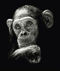 Scratch boards by Diana Lee #DianaLee #art #blackandwhite #scratchboard #amazing #monkey #ape