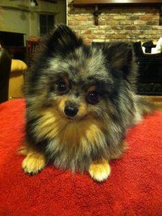 Blue Merle Pomeranian!!