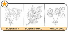 18 Outdoor Adventures ~ Poison Ivy id and information for kids. 18 Outdoor Adventures ~ Poison Ivy i Ivy Plants, Foliage Plants, Poison Leaves, Poison Ivy Remedies, Rashes Remedies, Cascade Water, Poison Oak, American Heritage Girls, Poisonous Plants