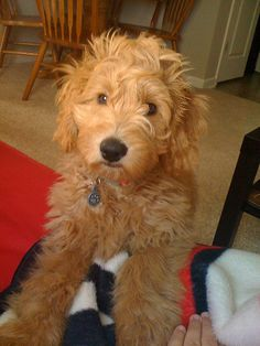 Ollie ! He's one of Morgan and Chewy's boys ! by country mini-doodles, via Flickr