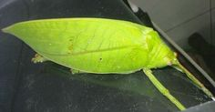 Is it a leaf? It's a Katydid Gunung Leuser National Park, National Parks, Leaves