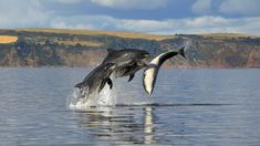 Dolphin Spirit Inverness - take a trip on our purpose built passenger boats to visit the dolphins in the Moray Firth Dundee, Common Bottlenose Dolphin, Uk Campsites, Cromarty, Sea Cow, Scotland History, Oceans Of The World, Animaux