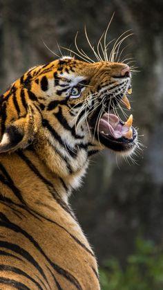 720x1280 wallpaper Angry tiger, muzzle, predator