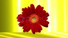 red Daisy - Stock Footage   by agusacosta
