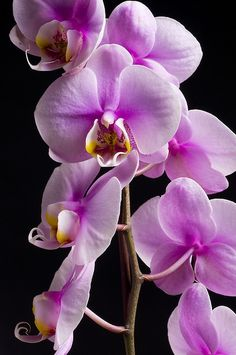 Moth Orchid!