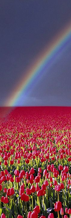 Rainbow Over Tulip Field By Edmund Nagele