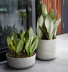 Sansevieria 'Moonshine' and the classic trifasciata in a couple of Humphrey pots