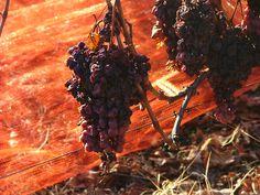 """L'uva per il """"vino del ghiaccio"""". Coop. Clarea"""