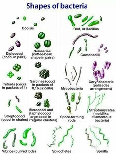 Microbiology! Shapes of bacteria (cocci, rod, spiral)