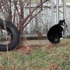 So. Ich wollte schon immer mal die Wirksamkeit eines #Katzenbildes testen. Hier eine #Katze, die sich als #Auto #Reifen tarnt. Oder umgekehrt...