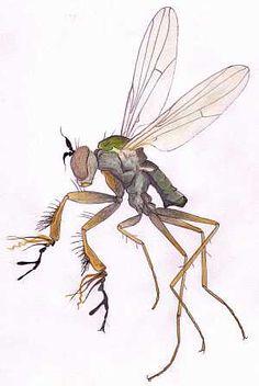 Campsicnemus magius Fancy-legged Fly Fancy, Art Prints, Animals, Image, Art Impressions, Animales, Animaux, Animal, Animais