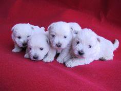 Cachorros de Westie, exclusivos by Clan Ferona