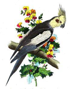 La #perruche calopsitte est bel #oiseau de la même famille que le perroquet. Son plumage est dans les tons de gris mais c'est sa tête qui séduit le plus avec sa crête et ses couleurs rouges au niveau des joues #volatile #numelyo Plumage, Lyon, Gray, Natural History, Colors